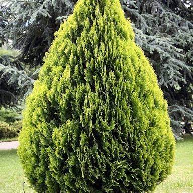 what is an example of a gymnosperm